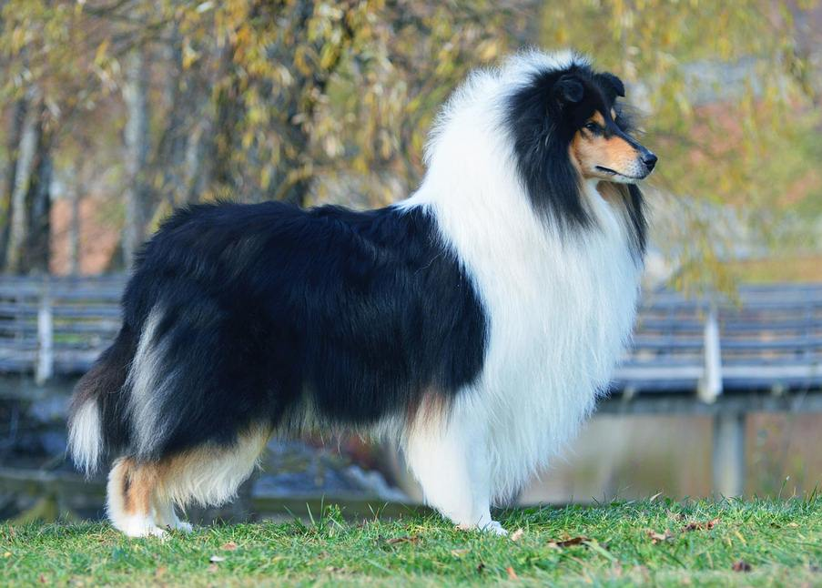 Sileäkarvainen collie, Absolute Dynamite Of the Windy Lands