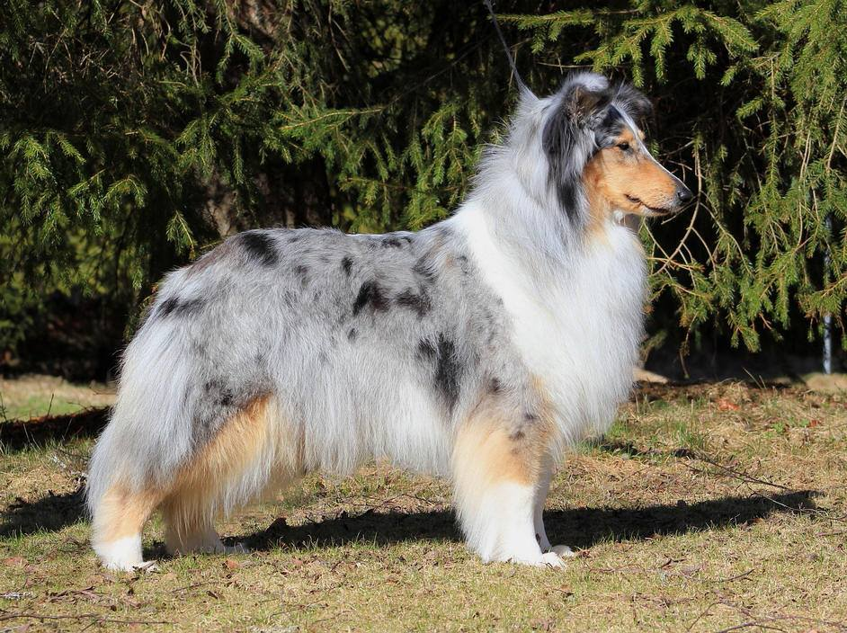 Pitkäkarvainen collie, Windy Forest's Blue Moonshine